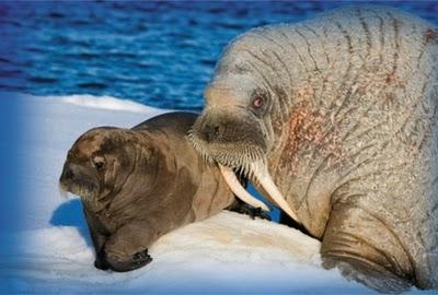Newborn Walrus